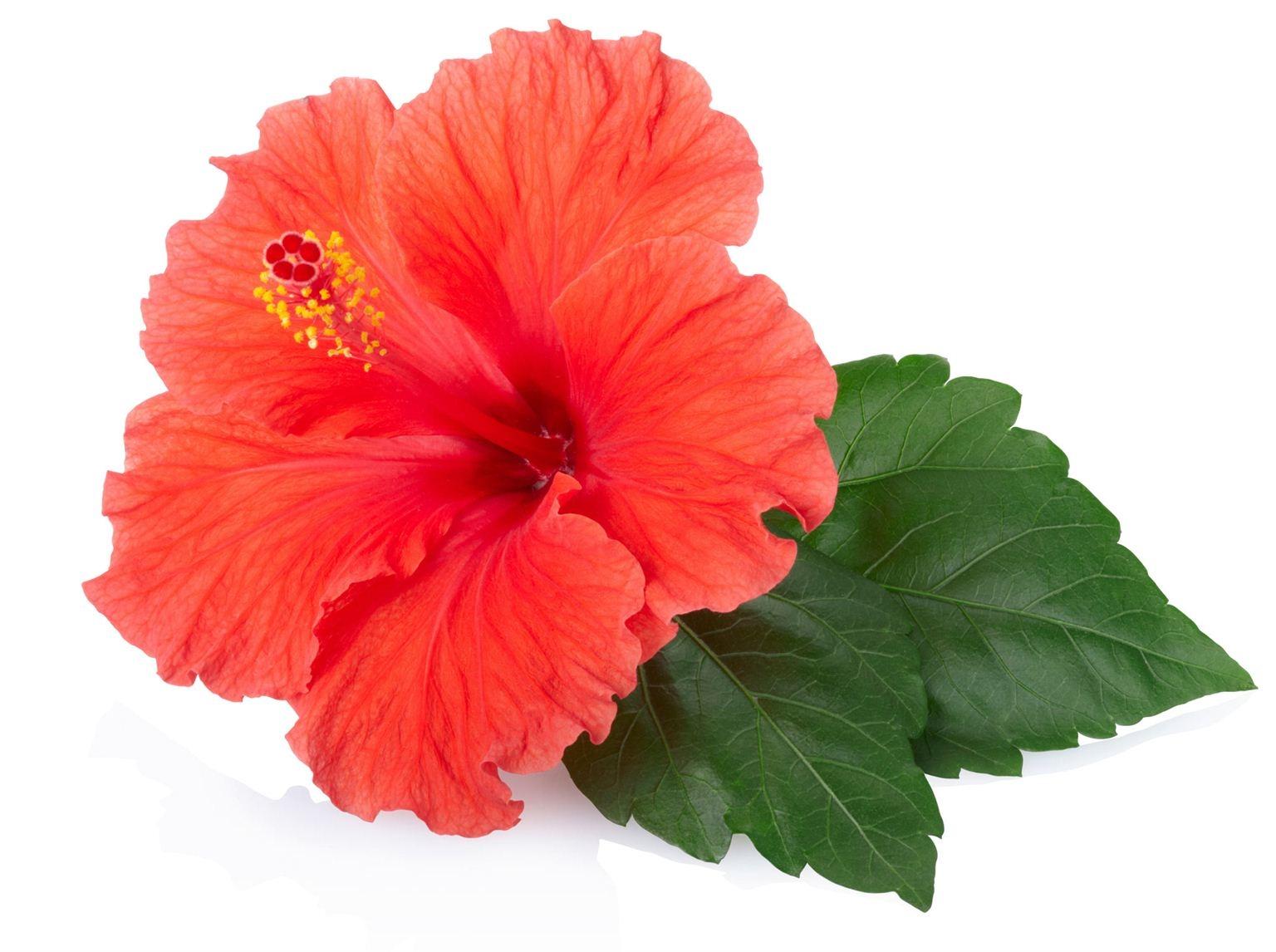 la fleur d hibiscus reine des antioxydants prot gez. Black Bedroom Furniture Sets. Home Design Ideas