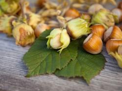 Noix et noisettes: un arbre à noix dans votre cour