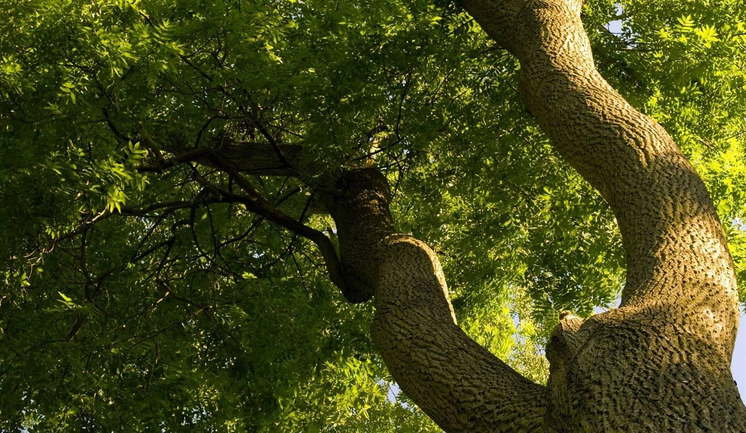 Agrile du frene vos arbres sont-ils infestes
