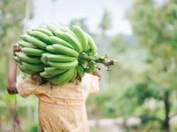 cueillette-bananes