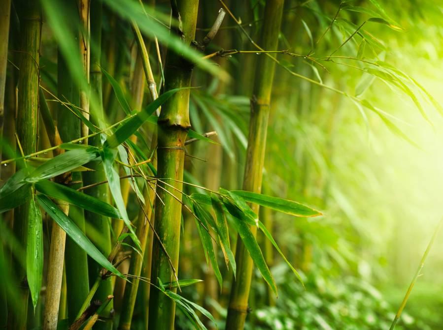 Bambou tabou