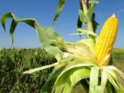 Bombe dans les champs OGM